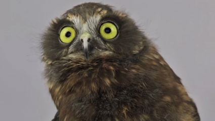 Watch This Owl's Dance Moves