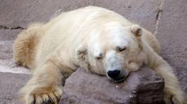 The World is Trying to Rescue the Saddest Polar Bear Ever