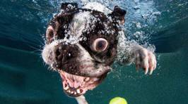 Dogs Diving For Tennis Balls Provide Great Facials
