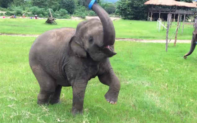 Rescued Baby Elephant Plays With Ribbon