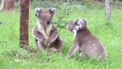 Koalas in the Funniest and Most Adorable Fight