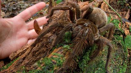 Scientist Finds Spider The Size of Puppy in Rainforest