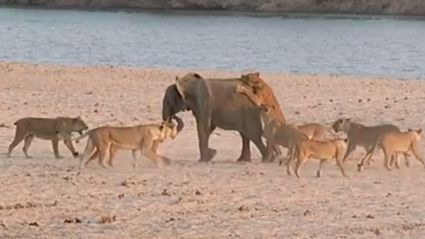 Baby Elephant Takes on Fourteen Elephants and Survives!