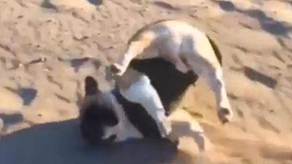 Someone Caught this Bulldog Tripping Over in Slow Motion