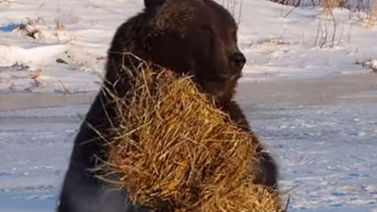 Cute Brown Bear Plays With Hay Bale
