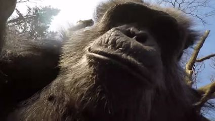 Chimpanzee Swats Flying Drone Out of The Sky
