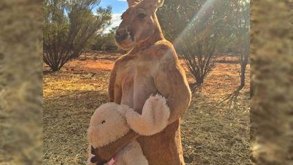 Adorable Orphaned Kangaroo Loves His Stuffed Bunny