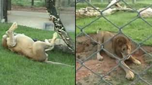 Lion That Was Caged For 13 Years Feels Grass And Dirt For First Time