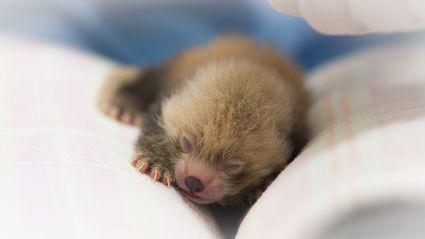 Newborn Red Pandas Are Adorable