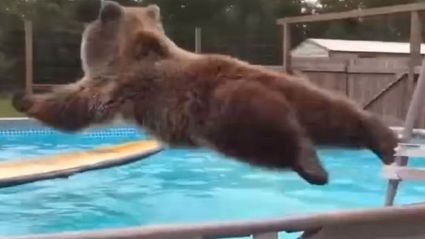 "28 Stone Grizzly Bear ""Cannon Balling"" To Keep Cool In The Heat"