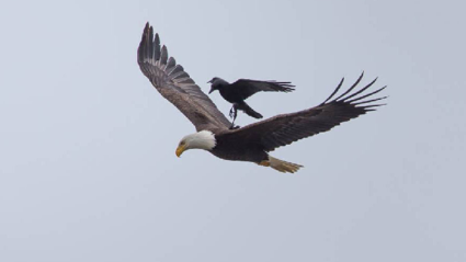 Crow Hitches A Ride On The Back Of An Eagle