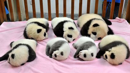 Panda Daycare Exists And Is the Most Adorable Place On Earth