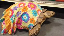 Dress-Wearing Therapy Tortoise Helps Patients Forget Their Troubles
