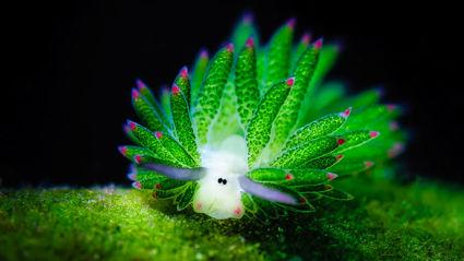 Adorable Sea Slug Looks Like Cartoon Sheep