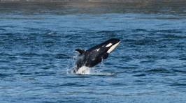 The Happiest Baby Orca In the Whole Darn Ocean