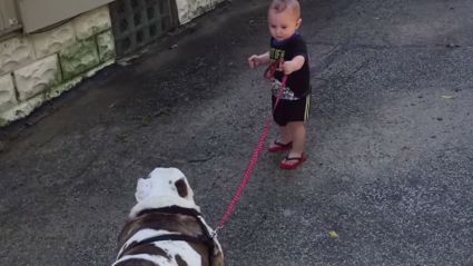 Watch a Baby Try to Take a Very Large Bulldog for a Walk