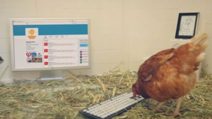 A Chicken Called Betty Is Trying To Gain A World Record Using Twitter