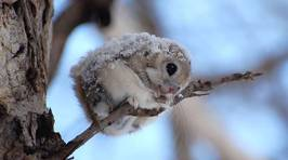 Japanese and Siberian Flying Squirrels Are SO CUTE