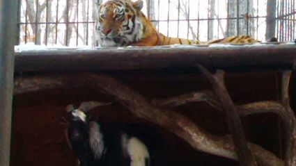 Goat Put In Enclosure As Lunch Makes Friends With Tiger Instead