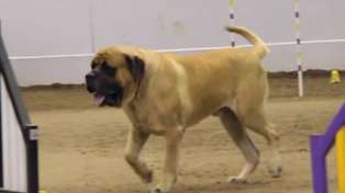 English Mastiff Competing In A Dog Agility Contest
