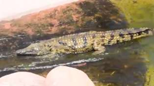 These Crocodiles Love Their Zoo Waterslide! Lol!