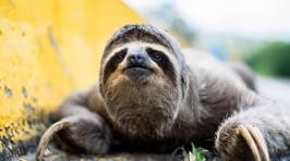 Sloth Stops Traffic in The Cutest Way Possible