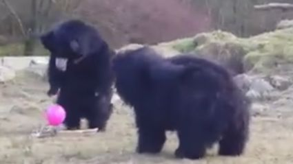 These Bears Are Adorably Baffled By A Pink Balloon
