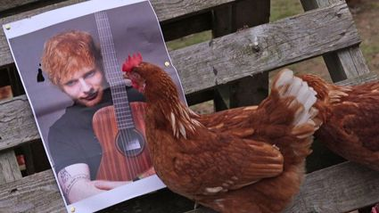 Farmer Plays Ed Sheeran to Help Hens Lay More Eggs