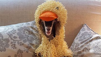 Rescue goat suffering from anxiety needs this adorable duck costume to calm her down
