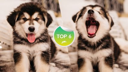 The Top 6 dog crossbreeds to adopt on Trade Me that haven't been banned