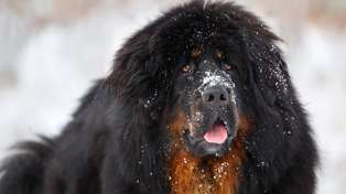 The family thought they had purchased a Tibetan Mastiff (pictured) Photo / Getty Images