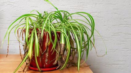 This bloggers plant hack promises to bring dying plants back to life!