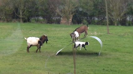 Goats Having Fun Balancing On A Flexible Steel Ribbon